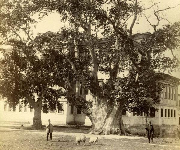 yeniçeri ağacı